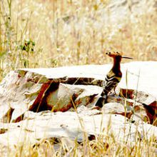 la huppe fasciée, est devenue l'Oiseau National d'Israël.