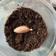 Semis de cacahuète, second essai en 2019