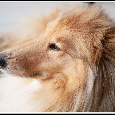 Photos : chien colley sable