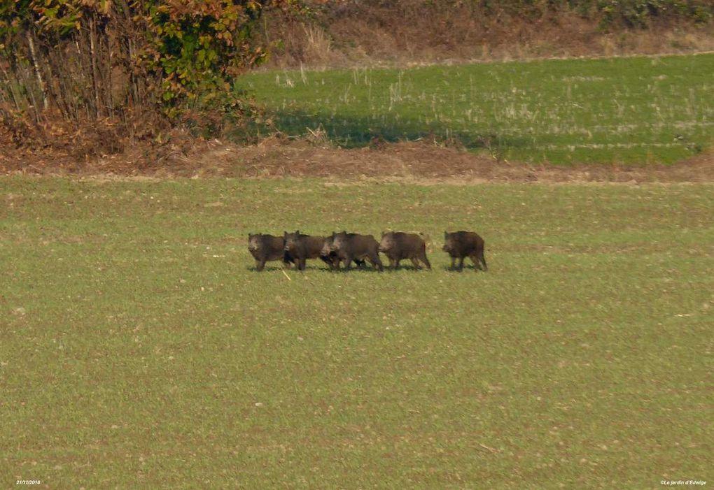 Et voilà un groupe qui stoppe sa course. Les sangliers s'immobilisent et regardent dans ma direction, pour finalement reprendre leur fuite.