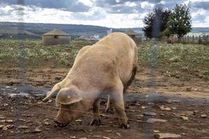 Les terribles expériences du Pentagone en Géorgie provoquent une épidémie de peste porcine en Belgique