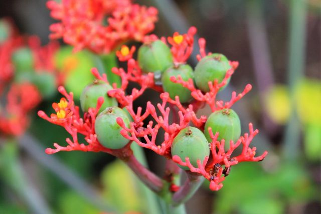 Jardin de Peradeniya les fleurs - Kandy - Sri Lanka
