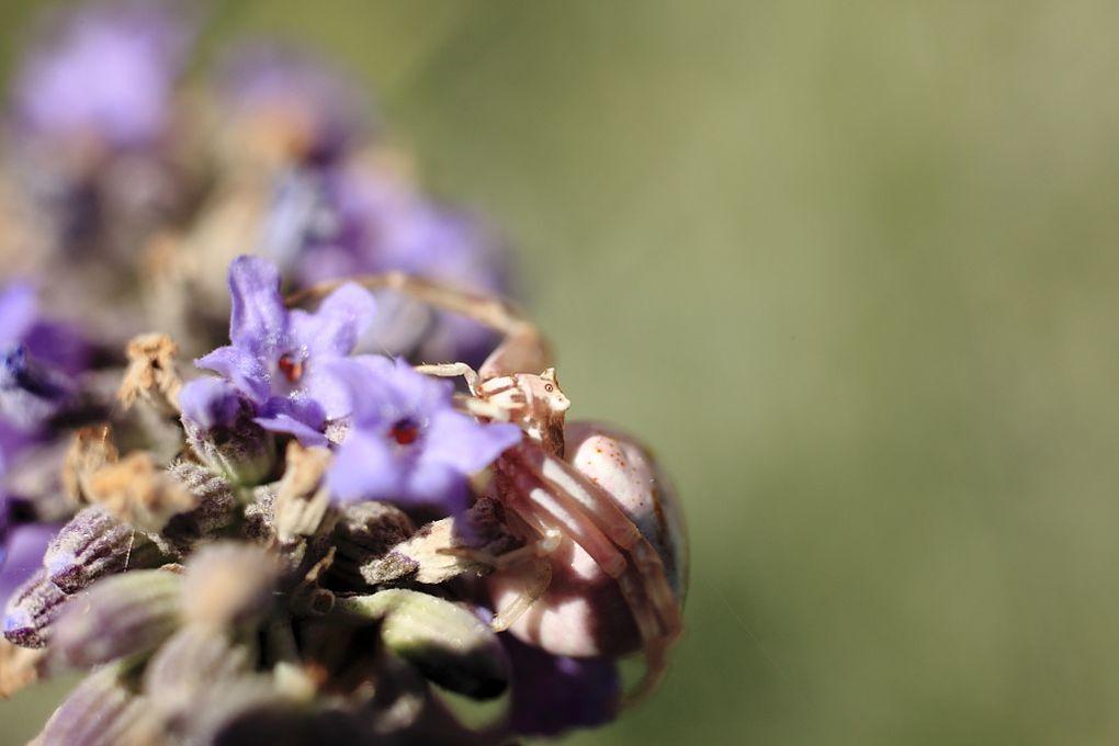 Araignée crabe en Macro sur des fleurs de Lavande