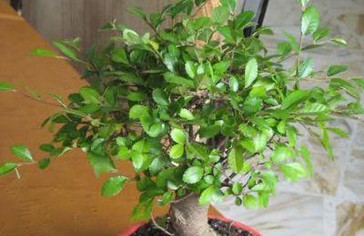 Come prendersi cura dei bonsai: l'Ulmus Parvifolia