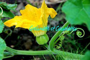 Fleurs de Courges... Au Jardin, en Cuisine, Recettes