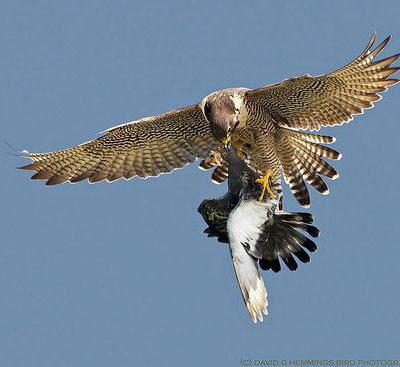 Rock Doves persecuted by Peregrines