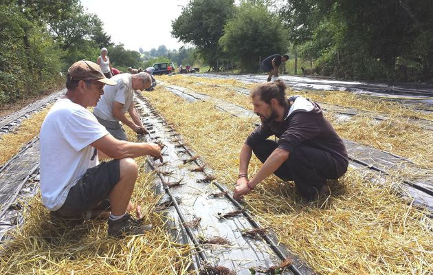 Savez-vous planter les...fraisiers à la mode de La Massonne