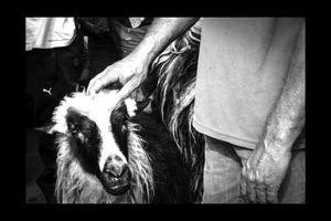 Transhumance contre le puçage électronique des brebis : photoreportage au Testet