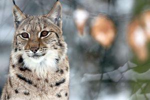 Le lynx se réinstalle dans le massif vosgien