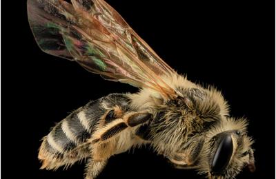 Le changement climatique réduit l'abondance et la diversité des abeilles sauvages, selon une étude américaine