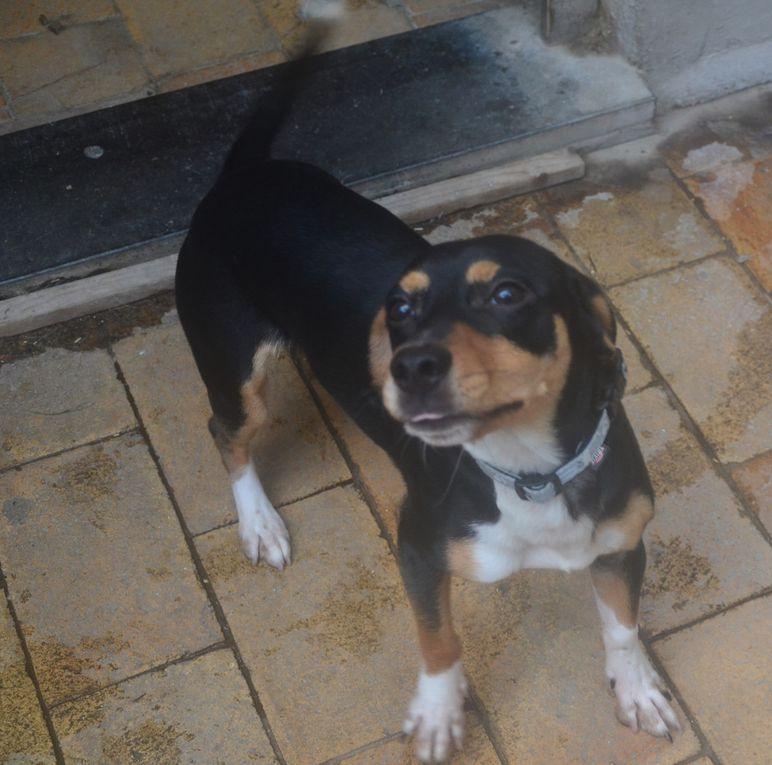 Il est adopté !!!  : MILO, adorable croisé Pinscher-Teckel mâle de 10 mois, très affectueux et intelligent