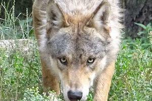 Le seul loup de la plaine de Meurthe-et-Moselle sera-t-il abattu ?