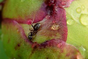 Que font ces fourmis sur mes pivoines ?