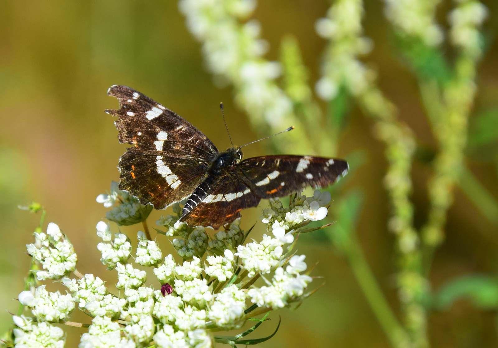 """On appelle ce papillon """"Carte géographique"""" ! (Araschnia Levana)"""