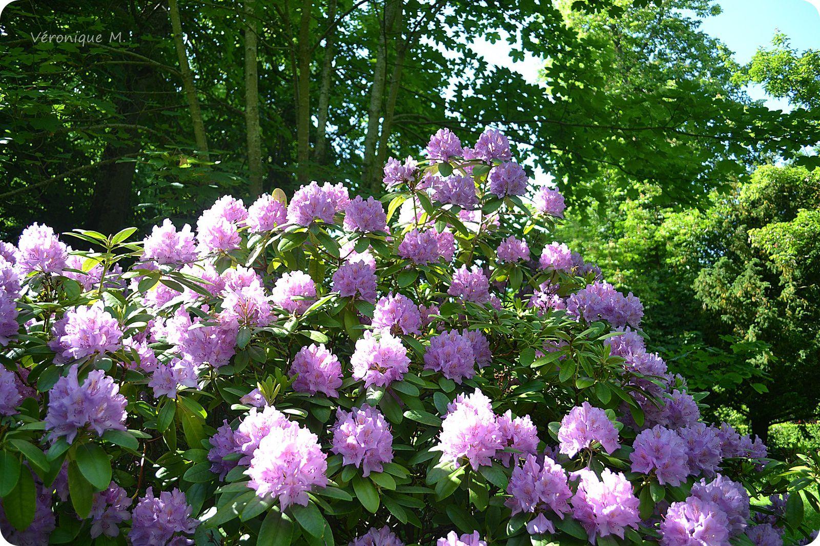 Des Rhododendrons de toutes les couleurs