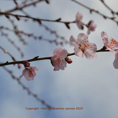 Ce n'est pas au Japon, en tout cas pas encore mais ça y ressemble déjà : les fleurs de mes amandiers.