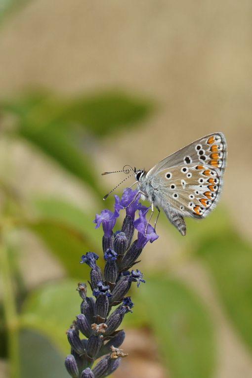 L'argus ou azuré : le mâle est bleu, la femelle brune.
