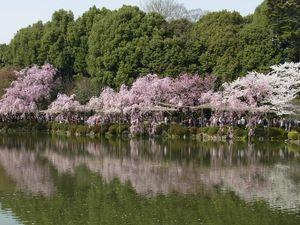 Début à mi-avril : Les cerisiers Shidalè-zakura (Jardin du sanctuaire de Héian à Kyôto)