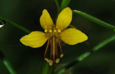 Physostemon guianense