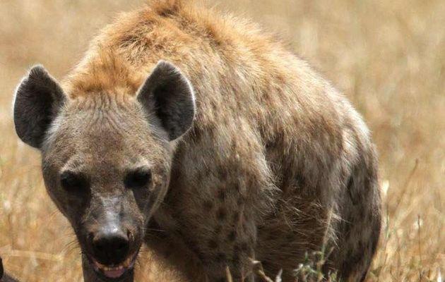 Insolite: Il se fait dévorer le pénis par une hyène
