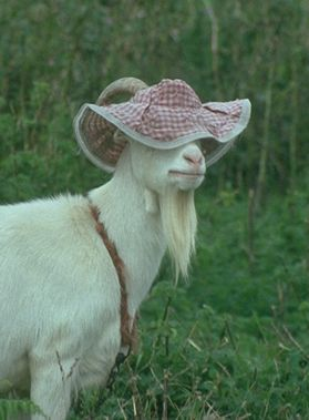 Chèvre à chapeau