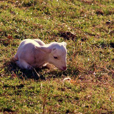 Les agneaux de Palalda et l'Ami Zéfir la mascotte de Palalda
