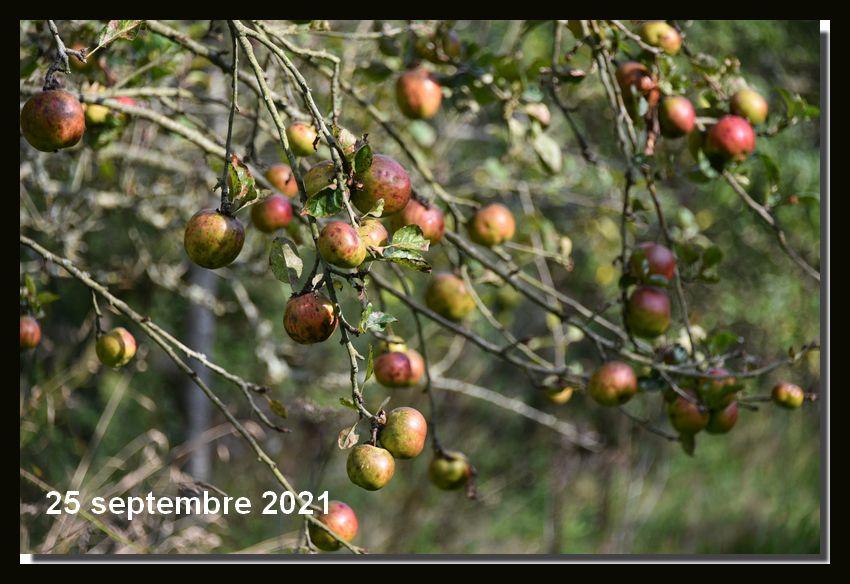 Les pommes arrivent à maturité