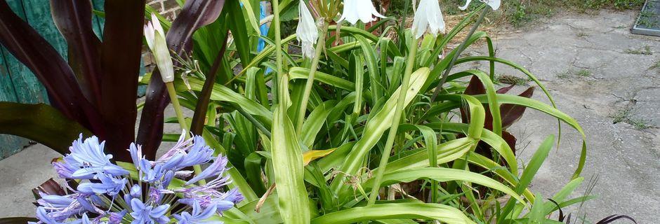 Meine weiße Hakenlilie