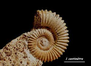 Spiroceras annulatum