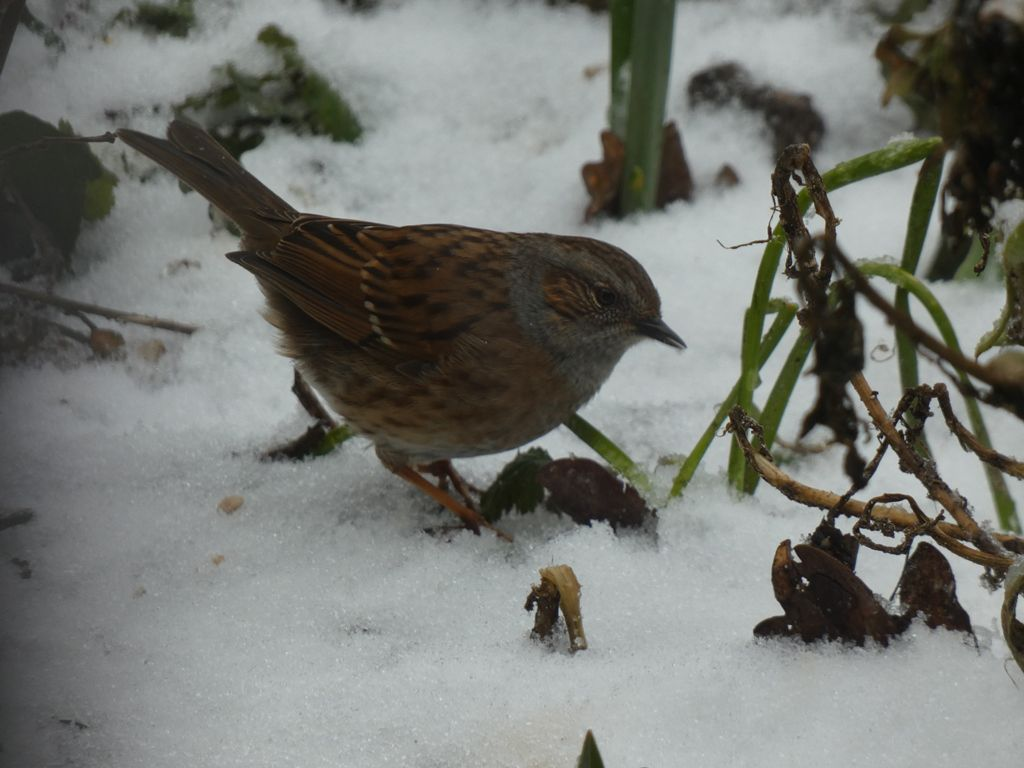 Neige au jardin : oiseaux aux mangeoires !