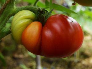 Enfin, les premières tomates commencent à rougir. C'est qu'on n'est pas en avance du côté de Bouillon. La première est une Ditmarsher revenue au pays après un passage chez Catherine en Bretagne et la seconde est une rouge de Namur à laquelle je reste fidèle depuis qu'Hanna m'en a donné les graines.
