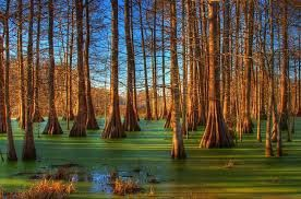 Vines in the State of Louisiana