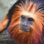 Vacciner des singes, solution contre une autre épidémie menaçante