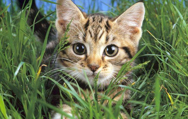 Tiques et puces : les parasites du chat