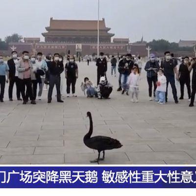 Un cygne noir visite la place Tiananmen à #Pékin ; Des politiques de confinement controversées