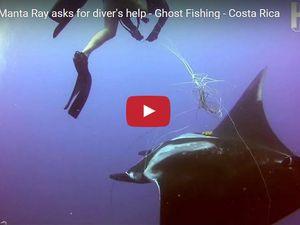 VIDEO - une raie géante prise dans une ligne demande de l'aide à un plongeur