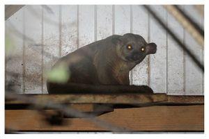 mammifères carnivores procyonidés (raton laveur, coati...)