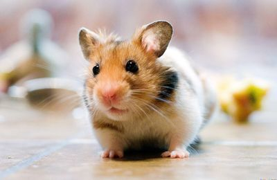 Animaux - Rongeur - Hamster - Cute - Photographie - Wallpaper - Free