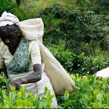 Le Sri Lanka lève l'interdiction du glyphosate dans les plantations de thé et d'hévéa