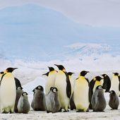 VIDEO. Comment distinguer les pingouins des manchots ?