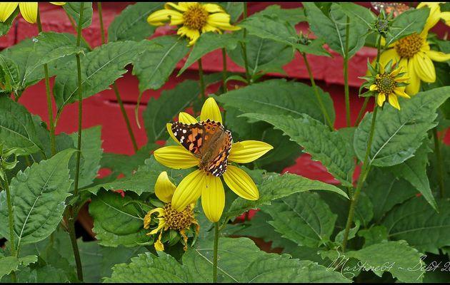Papillon : Belle Dame