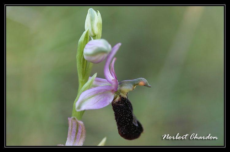 Ophrys Aurélien Carqueiranne
