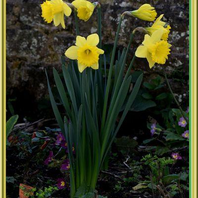 The daffodils