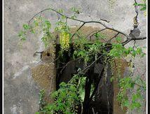 Le cytise et la vieille fenêtre délabrée ...