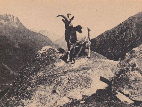 La chèvre des Savoie (1)