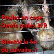 L'enseigne CASINO ne vendra plus d'oeufs de poules élevées en cage