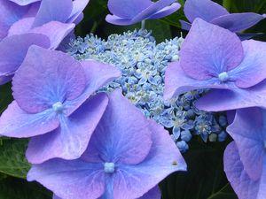 La pleine saison des hortensias