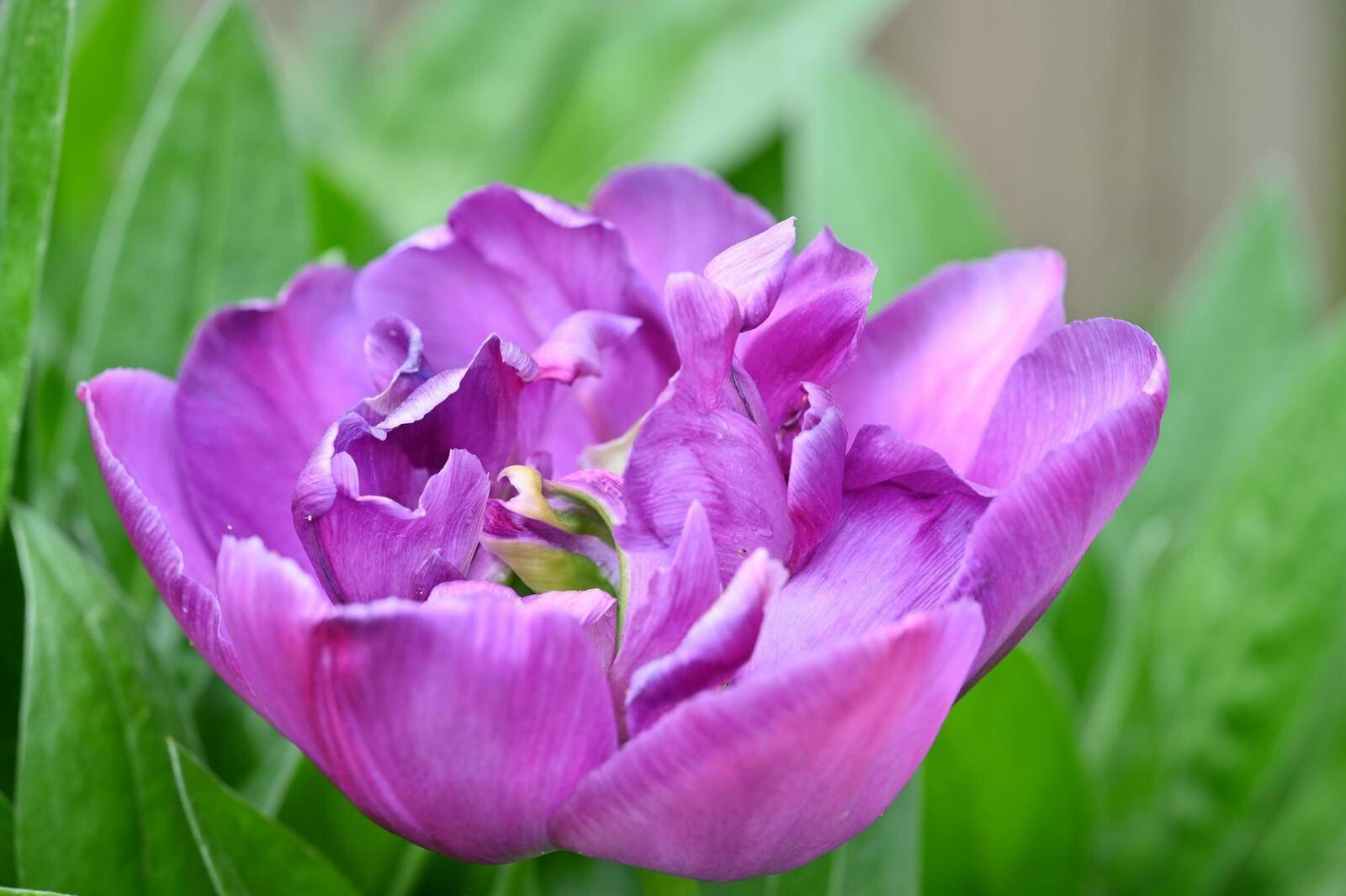 La fin des tulipes ...