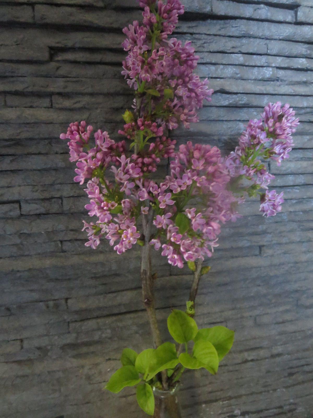 Mais que trois petites grappes de lilas viennent fleurir des bouts de branches en ce 4 novembre...ça, c'est pas trop normal ! Mais, merci du cadeau Dame Nature, me combler de leur délicieux parfum,