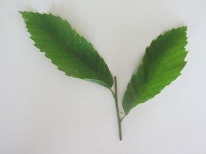 Feuilles alternes et feuilles opposées.